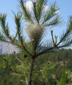 Vous avez repéré un nid de chenille processionnaire ?